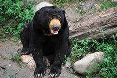 солнце медведя стоковые изображения rf