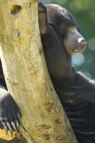 солнце медведя Стоковое Фото