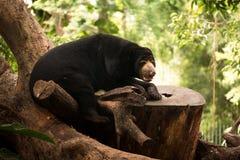 солнце медведя malayan Стоковое Изображение RF