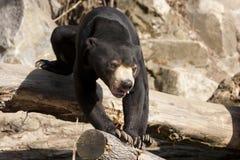 солнце медведя malayan Стоковые Изображения RF