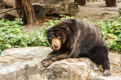 солнце медведя malayan Стоковое фото RF