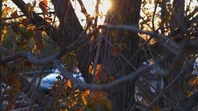 Солнце моргая в ветвях деревьев во времени захода солнца акции видеоматериалы