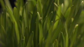 Солнце освещая свежую зеленую траву, рост новых саженцев, сбор eco сток-видео