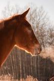 солнце освещенное лошадью Стоковые Фотографии RF