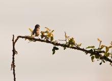 солнце петь subalpine к warbler Стоковое Фото