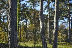 Солнце после полудня осени леса сосны Стоковое Фото