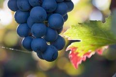 солнце пурпура виноградин Стоковые Фотографии RF