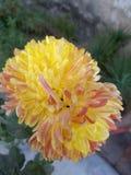 Солнце расцеловало желтый георгин Стоковая Фотография