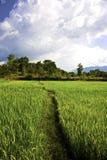 солнце риса полевого луча Стоковое Фото
