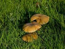 солнце росы предыдущее грибное Стоковое Изображение