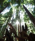 Солнце светит между массивнейшими redwoods в древесинах Монтгомери Стоковое Фото