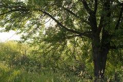 Солнце светит позади сочного дерева в лете Стоковые Изображения