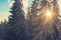 Солнце светит через ветви огромных покрытых снег елей Стоковое фото RF