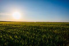 Солнце светя над зеленым полем зерна ландшафт сельский стоковая фотография