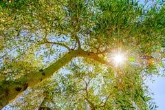 Солнце светя через листву оливкового дерева в лете, снизу Стоковое фото RF
