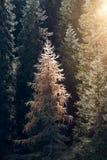 Солнце светя через формат панорамы падения осени спрусов елей леса вертикальный Стоковые Изображения RF