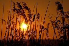 солнце тростников Стоковое Фото