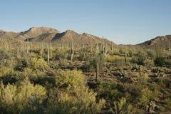 Солнце устанавливает на лес Saguaro стоковое изображение