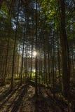 Солнце утра разрывая через рощу деревьев рядом с бобром p Стоковая Фотография RF