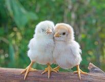 Солнце утра цыпленоков 2 холодно и загорает стоковая фотография