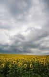 солнце цветка поля облаков бурное вниз Стоковые Фотографии RF