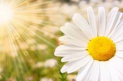 солнце цветка стоковые фотографии rf