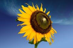 солнце цветка Стоковая Фотография