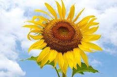 солнце цветка Стоковые Изображения RF