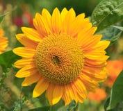 солнце цветка Стоковая Фотография RF