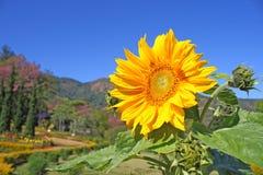 солнце цветка Стоковые Изображения