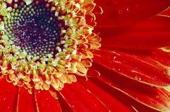 солнце цветка Стоковое фото RF
