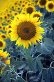 солнце цветков стоковые фотографии rf
