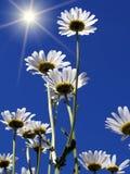 солнце цветков camomiles Стоковая Фотография RF
