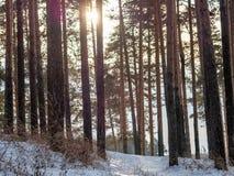 Солнце через сосны в лесе зимы стоковые фотографии rf