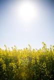 солнце canola вниз Стоковые Изображения