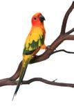 солнце conure птицы любознательное Стоковое Изображение