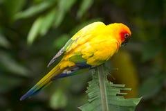 солнце parakeet стоковая фотография