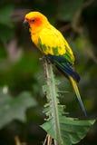 солнце parakeet стоковые изображения rf