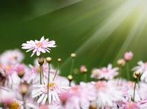 солнце shine маргаритки вниз стоковая фотография