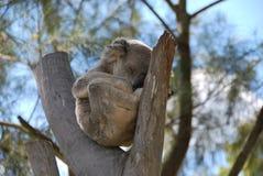 солнце snoozing koala Стоковая Фотография