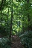 Солнц-затопленный воздержательный лес с прямым пешим путем через толстый зеленый подлесок Стоковая Фотография RF