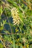 солодка Трава, сладостное upotr корня-cerned как laxative, также стоковая фотография