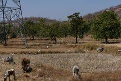 Солома падиа укрепляет хранение после жать от сезона поля сельского хозяйства весной стоковые фотографии rf