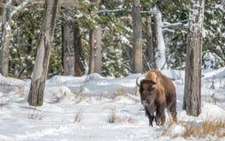 Сольный буйвол в снеге на солнечный день стоковые изображения rf