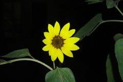 Сольный солнцецвет Стоковое фото RF