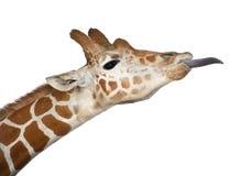 Сомалийский Giraffe Стоковая Фотография