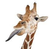 Сомалийский Giraffe Стоковое Изображение RF