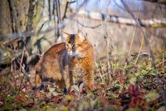 Сомалийское звероловство кота Стоковое Фото