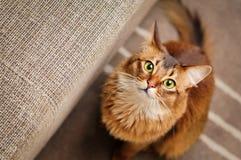 Сомалийский кот смотря вверх Стоковые Изображения