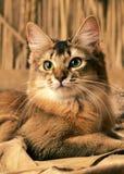 Сомалийский кот Стоковые Фото
